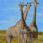 Africa wildlife three giraffes